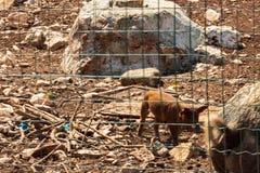Criação de animais do porco em uma casa da quinta foto de stock