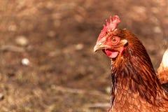 Criação de animais home das galinhas Vida em uma exploração agrícola pequena Agricultura ecológica Fotos de Stock Royalty Free