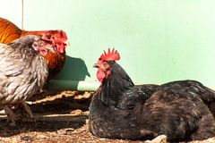 Criação de animais home das galinhas Vida em uma exploração agrícola pequena Agricultura ecológica Imagem de Stock Royalty Free