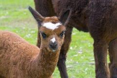 Cria dell'alpaga (lama pacos) Fotografie Stock Libere da Diritti