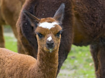 Cria dell'alpaga (lama pacos) Immagine Stock Libera da Diritti