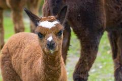 Cria dell'alpaga (lama pacos) Immagini Stock Libere da Diritti