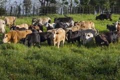 Criacão de gado Foto de Stock Royalty Free