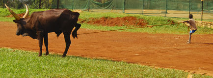 Criança Ankole Bull Foto de Stock Royalty Free