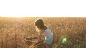 Criança com trigo à disposição o bebê guarda a grão na palma uma criança pequena está jogando a grão em um saco em um campo de tr vídeos de arquivo