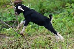 Criança da cabra Imagem de Stock