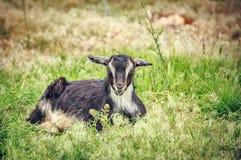 Criança da cabra Imagens de Stock Royalty Free