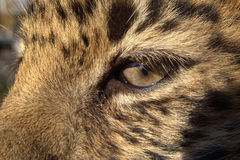 Criança do leopardo do leste Fotografia de Stock