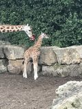 Criança do Mum dos bebês do girafa Foto de Stock Royalty Free