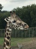 Criança do Mum dos bebês do girafa Imagens de Stock Royalty Free