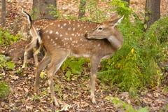 Criança dos cervos vermelhos na madeira Foto de Stock