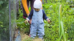 A criança e a mulher que verificam a colheita dos pepinos video estoque