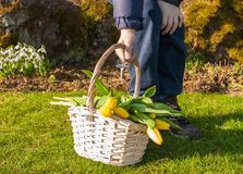 A criança entrega guardar uma cesta com as tulipas do amarelo da mola no parque ensolarado da mola Copie o espaço fotos de stock