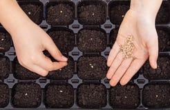 A criança entrega sementes de espalhamento na bandeja da germinação Fotografia de Stock Royalty Free