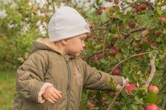A criança escolhe maçãs Fotografia de Stock Royalty Free