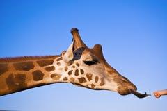 A criança está alimentando um giraffe Fotografia de Stock