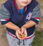 A criança está guardando bolotas em suas mãos pequenas imagens de stock