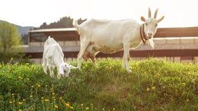 A criança goatling nova que pasta, com parte traseira da mãe dentro, iluminou-se pelo afternoo Foto de Stock Royalty Free