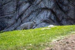 Criança isolada da cabra de montanha rochosa fotos de stock royalty free