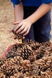 Criança que colhe cones do pinho Imagens de Stock Royalty Free