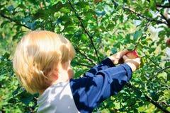 Criança que escolhe uma maçã Fotos de Stock