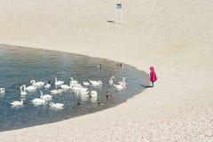 Criança que está pelo lago com rebanho das cisnes Fotos de Stock Royalty Free