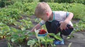 A criança recolhe a baga vermelha madura vermelha Quebra delicadamente a baga e põe-na em uma cubeta do ` s da criança Colheita n fotos de stock