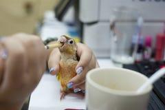 A criança urbana está alimentando o papagaio na tabela do computador fotografia de stock