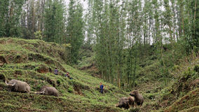 Crianças com os búfalos no vale do Pa do Sa Fotos de Stock