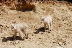 Crianças da cabra de montanha, canadense Montanhas Rochosas, Canadá Fotos de Stock