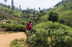 Crianças na plantação de chá Imagem de Stock Royalty Free