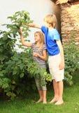 Crianças que colhem framboesas Foto de Stock Royalty Free