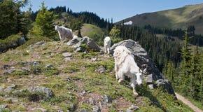 Criança do bebê e baby-sitter Mountain Goats da mãe que faz seu monte do furacão da maneira para baixo no parque nacional olímpic Fotografia de Stock