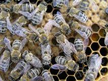 Criando y manejando abejas Abejas de la cría en el colmenar en Imagen de archivo libre de regalías