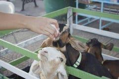 Criar cabras de la leche Fotografía de archivo