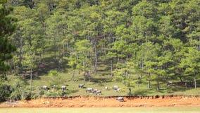 Criar jabalís cerca de la montaña de Langbiang, ciudad del lat de DA, provincia de Lam Dong, Vietnam almacen de video