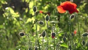 Criatura frágil, delicada En las amapolas del flor del jardín La amapola florece el flor almacen de video