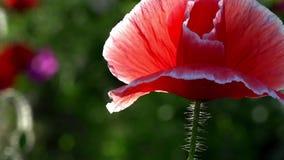 """Criatura frágil, delicada Papoila do †roxo, cor-de-rosa, vermelho, diferente """" vídeos de arquivo"""