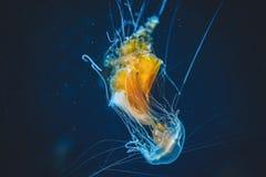 Criatura misteriosa do espaço em nossos oceanos que nós chamamos medusa fotografia de stock