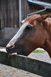 Cribbing Horse Stock Photo