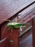 Cricet gräshoppa 2 Royaltyfri Fotografi