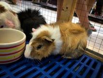 Criceti Teddy Bear Hamster fotografia stock
