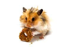 Criceto che mangia i buoni biscotti con le nocciole Fotografia Stock