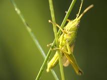 Cricket Photographie stock libre de droits