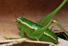Cricket. A macro photo taken on a cricket at a park Royalty Free Stock Photos