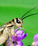 Cricket. A macro shot of a cricket (Acheta Domestica) eating a tiny flower Stock Photography