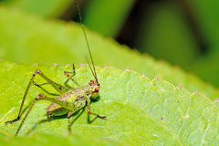 Cricket photo stock