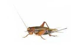 Cricket. Field Cricket (Gryllus) isolated on white background stock image