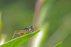 Cricket. Is staying on the plant leaf Stock Photo