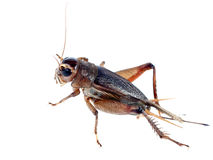 Cricket. Is insect live in rub on the earth. He have wing two ditch. He eat vegetation royalty free stock photos